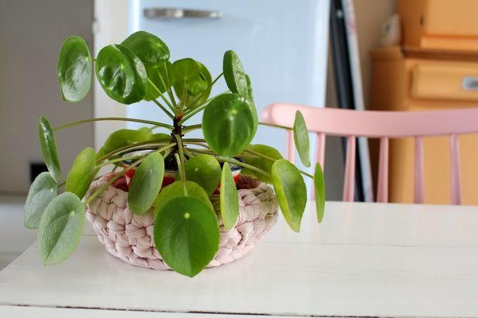 Les plantes de la maison: la pilea